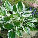 Листно декоративни растения