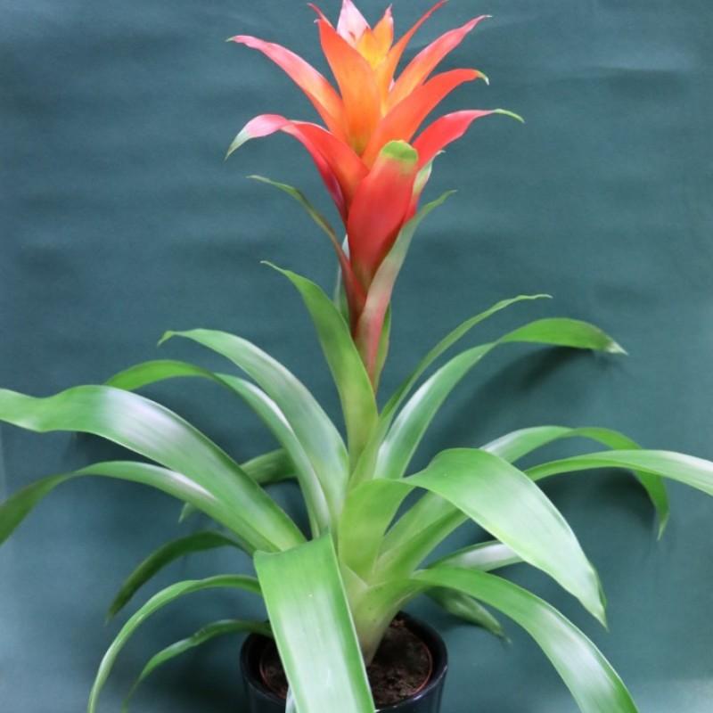 Бромелиево растение